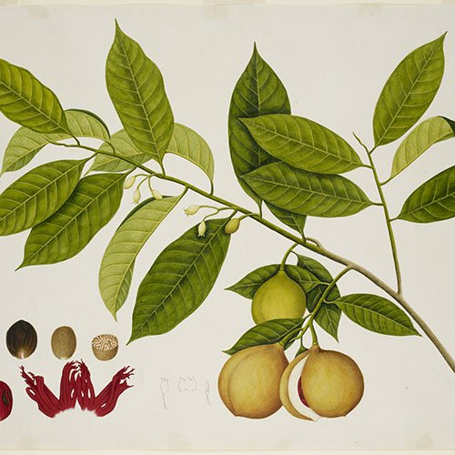 Colour, botanical drawing of a nutmeg tree